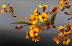Agave stricta var 10 Grad nana silver-blue Pflanze