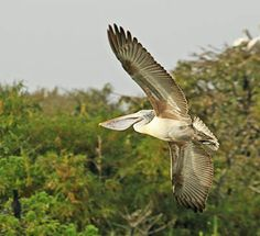 spot billed pelican hd wallpaper background image download from bird animal nature wildlife gallery. full size royalty free commercial use pictures here