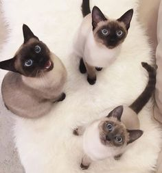 @mini_bella_karli ------------------------- Follow us: -@siamesecatloves ------------------------- Douple tap and tag your #SiameseCat loving friends below! Be sure to hit follow for awesome pics! From: @siamese_world Thank you so much !