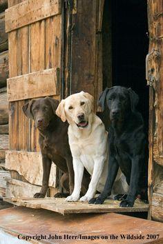 """Multi-colored Labrador Retrievers in the field."" ---- [Photographer Denver Bryan - 2007]'h4d'121202"