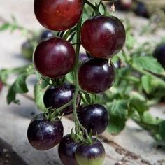 Indigo Rose Tomato (Tomato - Cherry) They look like cherries but their really tomatoes! The unique deep purplish black color of 'Indigo Rose' Cherry tomato is just the start to the greatness of this variety. The small, 1 inch round black, cherry tomatoes are exploding with anthocyanins, a powerful antioxidant.