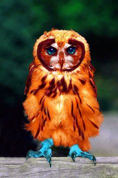 Blue-Footed Screech Owl