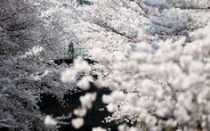 Cherry blossoms are seen in full bloom in Tokyo. - REUTERS/Toru Hanai