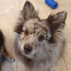 Shepspitz (Australian Shepherd + Zwergspitz) | 19 ungewöhnliche Hunde-Kreuzungen, die Dein Herz im Sturm erobern werden