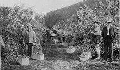 1905, image of an apple orchard in Oregon - That was 111 years ago when commercial apple orchards were still pretty rare and when even in the biggest of those orchards, everything was done by hand.