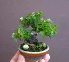 Tiny bonsai.