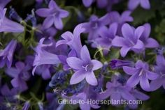 Campanula flowers look best spilling over a tall pot or a hanging basket. Campanula isophylla is a trailing form of bellflower plants, featuring blue, bell-shaped flowers. Get tips for growing campanula flower as house plants.