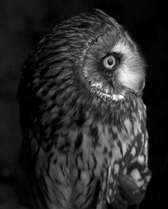 My lovely friend Sylvanas 〰〰〰〰〰〰  #owl #bird #shortearedowl #monochrome #blackandwhite #bw