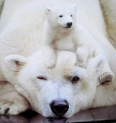 Polar bear with baby - Fotografie Tiere - Animals Cute Baby Animals, Animals And Pets, Funny Animals, Wild Animals, Photo Ours, Baby Polar Bears, Love Bear, Tier Fotos, Cute Animal Pictures