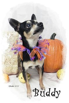 Buddy is a very sweet guy and needs a loving forever home, he is older but remember Chihuahua can live to be quite old so he still has a lot of life and love to give. Please consider adopting Buddy and give him a loving home ♥