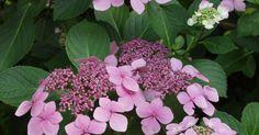 Hortensien gehören zu den beliebtesten Blütensträuchern im Garten. Neben den bekannten Bauern-Hortensien gibt es eine große Vielfalt weiterer attraktiver Arten und Sorten.