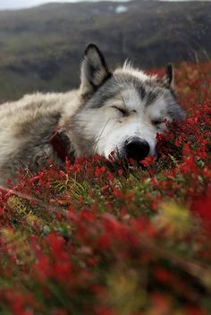 After a long day or on hot days I love to nap  Wolves nap after big meals or when it's to hot to run