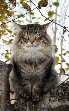 Looks just like Zoe! Pretty Cats, Beautiful Cats, Cute Cats, Cat Online, Fancy Cats, Siberian Cat, Norwegian Forest Cat, Cat Aesthetic, Cat Boarding