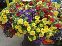 Callie Color Wheel Mix KwikKombo from Syngenta Flowers