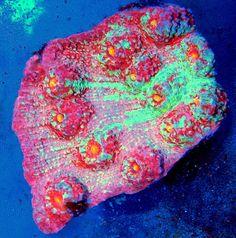 Bioluminescent Animals, Corals For Sale, Beautiful Sea Creatures, Water Animals, Salt And Water, Exotic Flowers, Aquarium, Interior Design, Colors