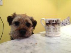 Emma Bridgewater * Border Terrier Mug with a Border Terrier Cute Borders, Border Terrier, Types Of Dogs, Little Brown, Emma Bridgewater, Brown Dog, Terriers, Apples, Cute Pictures