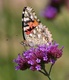 Painted Lady Butterfly - New Paris, Indiana - USA