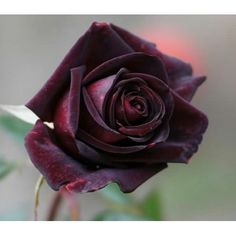 Find great deals for black rose seeds. Buy wholesale Black Rose - Seeds / flower seeds and free garden seeds products. black and rose .