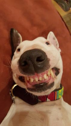 Nacho's lips stuck to her teeth. This is the face of a Bull Terrier that only a mother could love.