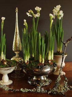 forcing paperwhites: