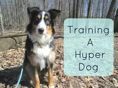 Training a Hyper Dog : Tips and Tricks for Traning an Australian Shepherd #dogtipsandtricks #puppytrainingdiy