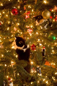 Kittens playing in a Christmas tree