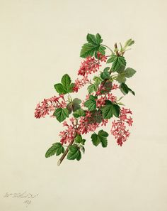 Augusta Innes Withers -- Ribes sanguineum -- Fruit, Vegetables and Herbs -- RHS Prints