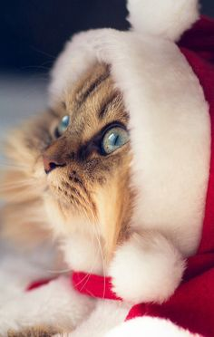 Sweet lil Santa Paws... my Maddy makes evil faces at me when I dress her up. This is so adorable.