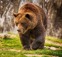 Brown Bear Brown Bear, Animals, Animales, Animaux, Animal, Animais