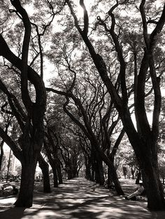 Tipa Trees in Parque Lezama, San Telmo - Buenos Aires, Argentina