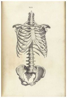 old anatomical drawing spine and pelvis - Google Search