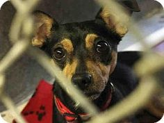 Mesa, AZ - Chihuahua/Miniature Pinscher Mix. Meet CHLOE, a dog for adoption. http://www.adoptapet.com/pet/15762733-mesa-arizona-chihuahua-mix