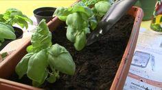 CIFO - Ascolta le tue piante - Il Basilico
