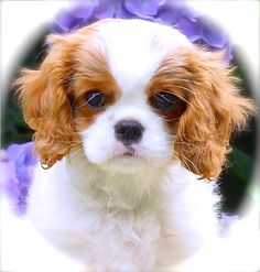 Laughing Cavaliers Lillie - what a perfect little puppy!
