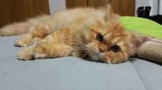 Mi gatico persa