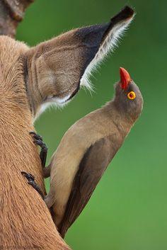 Lend me your ear... by gerdavs, via Flickr