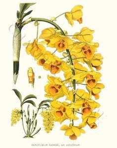 'Dendrobium farmeri var. aureoflavum' giclee print via Charting Nature http://www.chartingnature.com/orchid-print.cfm/Dendrobium-farmeri%20Orchid%20Art%20Print/6482