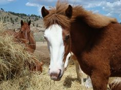 The Wild Horse Sanctuary in Hot Springs, SD  See hundreds of wild American, Spanish, and Sulphur mustangs roaming free across wind swept prairies.  #BlackHillsWildlife