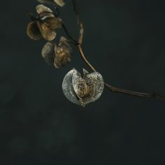 Mooie uitgebloeide kruisbes, gewoon gevonden in een plantsoen hier in Haarlem. De natuur op zijn mooist. #natuur #fotografie #kruisbes #physalis #wanddecoratie #interieur #foto #fineartprint #dibondart #depthbynature #kunstuitdenatuur #flora #photography #nature #wallart #webshop