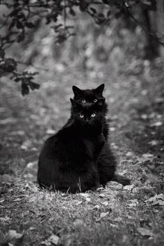 Want more black cat videos and photos? Foster Kittens, Cats And Kittens, Kitty Cats, Funny Cat Videos, Funny Cats, Image Chat, Witch Cat, Cat Boarding, Cat Gif