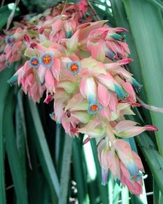 Full of color! The Pink Puya (Puya dyckioides) is a beautiful, rare Pineapple relative from Argentina that you probably haven't seen before. Not only do the flowers have a gorgeous color combination, but the colors deepen as the cluster matures! This exotic Bromeliad is hardy down to 20-22°F (-6°C). Despite being difficult to find, the Pink Puya is a very easy plant to grow.