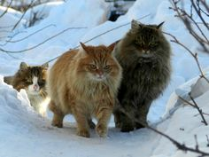 This is NOT Norwegian forest cat, And this is Altayskye - Imgur
