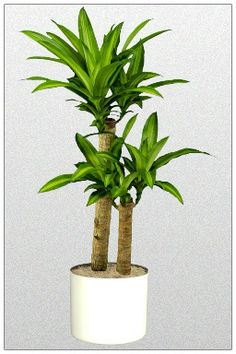 What are the best indoor plants for Brisbane? The best office plants include Zanzibar Gem, which is a low light plant. At IEQ we know our plants. Best Indoor Plants, Indoor Garden, Green Plants, Tropical Plants, Potted Plants, Flower Plants, Buy Plants, Hanging Plants, Flowers