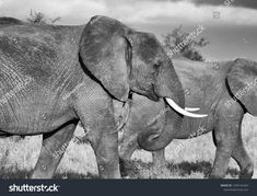 Find Elephants On Move stock images in HD and millions of other royalty-free stock photos, illustrations and vectors in the Shutterstock collection. Thousands of new, high-quality pictures added every day. Textured Background, Elephants, Photo Editing, Royalty Free Stock Photos, Illustration, Artist, Pictures, Photography, Animals