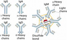 A drawing of antibodies