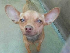 URGENT and ONLY 1 SHARE!!!! EVA - A1307833  S 1 Year BROWN CHIHUAHUA SH MIX 3/12/2014  www.ocpetinfo.com. OC Animal Care. 561 The City Drive South, Orange, CA. 92868 Telephone: 714.935.6848  https://www.facebook.com/photo.php?fbid=10153913707525223&set=a.10151287465740223.802367.315830505222&type=3&theater