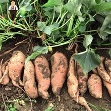 Learn how to grow sweet potatoes directly from slips! You can purchase slips at your local nursery, or you can grow your own - we'll show you how! Growing Vegetables In Containers, Container Gardening Vegetables, Fruits And Vegetables, Vegetables Garden, Vegetable Gardening, Fertilizer For Plants, Organic Fertilizer, Organic Gardening, Texas Gardening