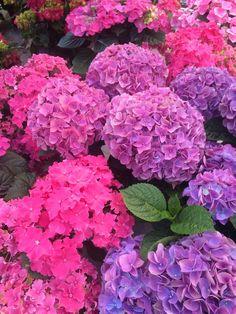 Vibrant colored hydrangea