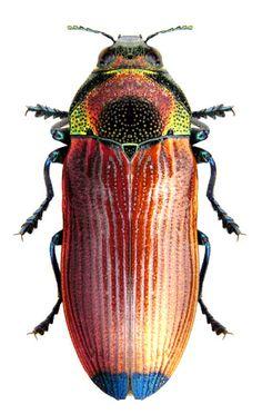 Castiarina cinnamomea