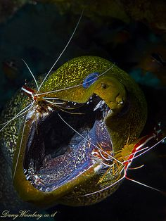 Moray Eel and 2 cleaner shrimps  Dany Weinberg